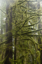 Moss Covered Branches - Cortes Island Temperate Rain Forest photo
