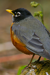 Amarican Robin - Cortes Island Thrush photo