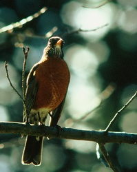 American Robin - Cortes Island Thrush photo