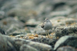 Wandering Tattler - Mitlenatch Island Wading Bird photo