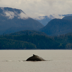 Humpback - Rivers Inlet whale photo
