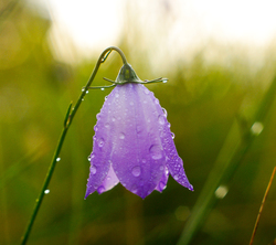 Purple Flower -  Wildflower photo