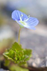 Small Blue Flower - France Wildflower photo
