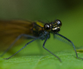 Aillevillers Damselfly photo