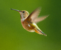 Cortes Island Hummingbird photo