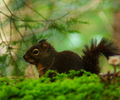 Cortes Island Squirrel photo