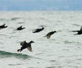 Salish Sea Scoter photo